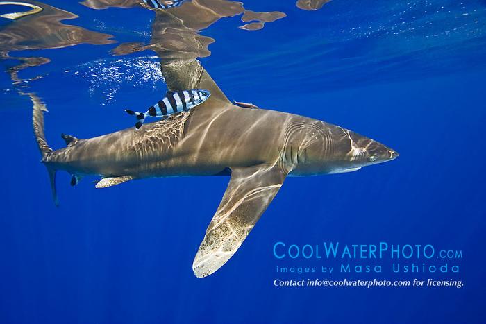 Whitetip shark and pilot fish