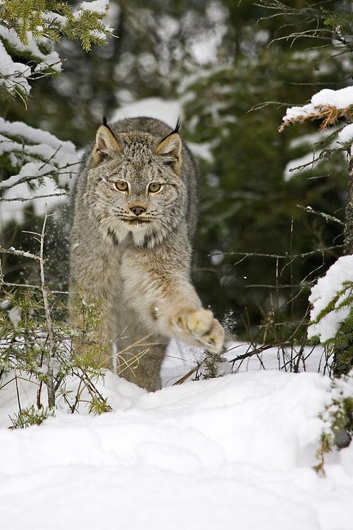 Canada Lynx walking through the brush and snow - CA