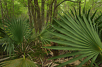 Dwarf Palmetto (Sabal minor), Palmetto State Park, Hill Country, Central Texas, USA