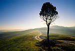 A lone juniper tree backlit by the sun beside a road that disappears into the distance, Tuscany, Italy.
