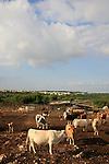 Israel, Upper Galilee. Cattle by Meelia-Manot scenic road