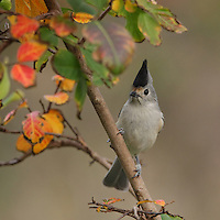 Black-crested Titmouse late November, and fall colors..