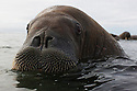 Norway, Svalbard, walrus swimming in ocean