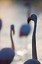 Greater Flamingos (Phoenicopterus roseus) in lagoon, backlit, Pont Du Gau, Camargue, France