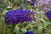 Buddleja 'Buzz Indigo' dwarf patio butterfly bush with intense colors, Buzz series buddleia