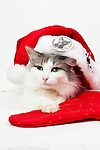 MMCR cats Christmasy photos