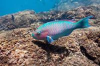 Blue-chin parrot fish, Santiago Island, Galapagos Islands, Ecuador