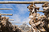 Cod stockfish heads hanging on wooden racks for drying, Lofoten Islands, Norway