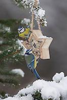 Blaumeise, selbstgemachtes Vogelfutter in einem Stern, Förmchen, Vogelfütterung, Fütterung, Fettfuttermischung, Fettfutter, Meisenknödel, Winterfütterung, Schnee, Winter, Blau-Meise, Meise, Meisen, Cyanistes caeruleus, Parus caeruleus, blue tit, bird's feeding, snow, La Mésange bleue
