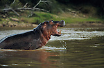 A large hippopotamus rises from murky waters in Tanzania's Selous Game Reserve. The sandy-bottomed rivers of the Selous contain the highest numbers of hoppopotamuses in Africa.
