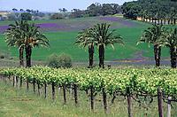 Océanie/Australie/South Australia/Australie Méridionale/Barossa Valley/Marananga: Vignoble et palmiers
