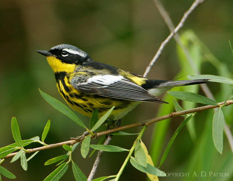 Adult male magnolia warbler in breeding plumage