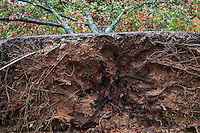 Hurricane Sandy tree damage, Moorestown, New Jersey, USA