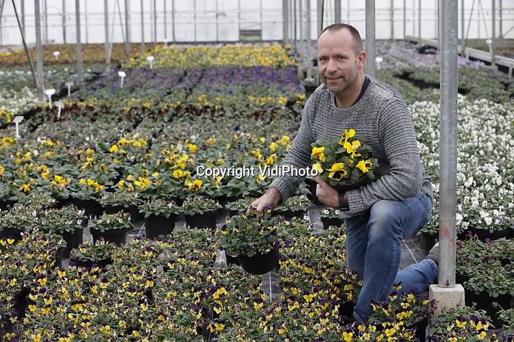 Foto: VidiPhoto<br /> <br /> EST &ndash; Tom van den Berg uit Est, tussen zijn viooltjes in de koude kas. Naast een verwarmde en belichte kas met pothortensia&rsquo;s en kerststerren, is Van den Berg Est BV vorig jaar begonnen met het kweken van viooltjes als perkplanten.