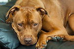 Red dog on black leather sofa shallow depth of field, eyes in focus head and shoulders only
