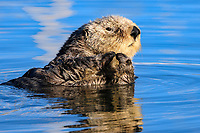 A sea otter (Enhydra lutris nereis) is resting and watching in the early morning light before a male sea otter approaches at Moss Landing @ Moss Landing in the Monterey Bay National Marine Sanctuary.