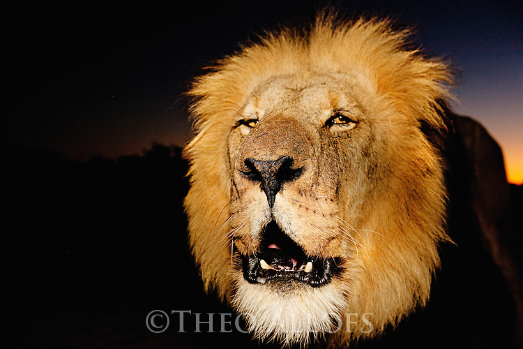 Botswana, Kalahari, private game reserve, male lion roaring at dusk, portrait, captive