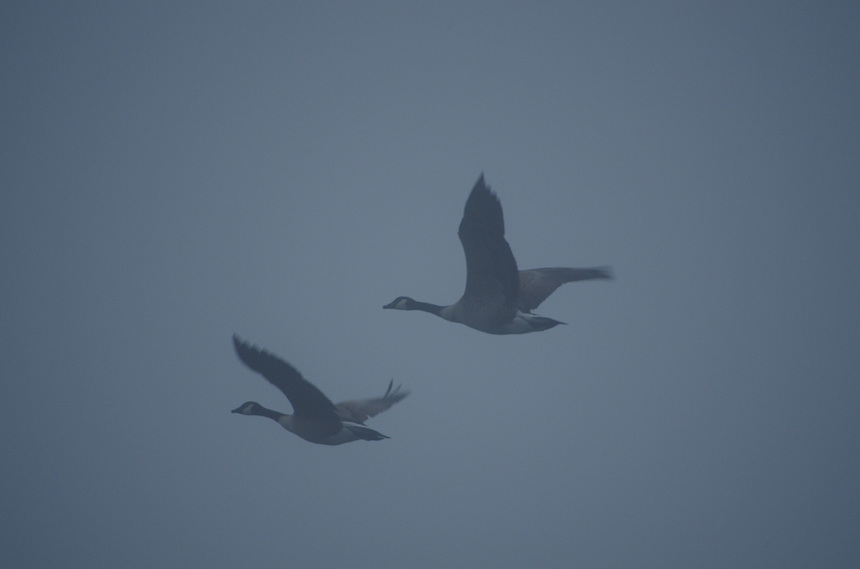 Canada geese flying through fog, Sunset Lake, Benton, Arkansas.