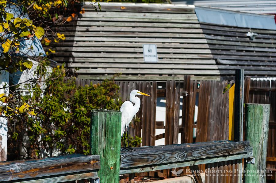 US, Florida, Key West. Great White Egret.