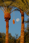 date palms and moon in Coachella Valley