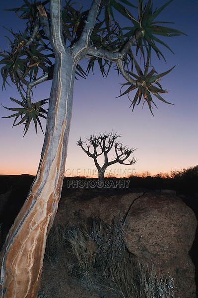 Quiver tree, Kokerboom (Aloe dichotoma), trees at dawn, Namibia, Africa