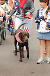 4th of July Parade.Chocolate Labrador