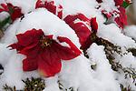Silk poinsettia plant covered in fresh snow.