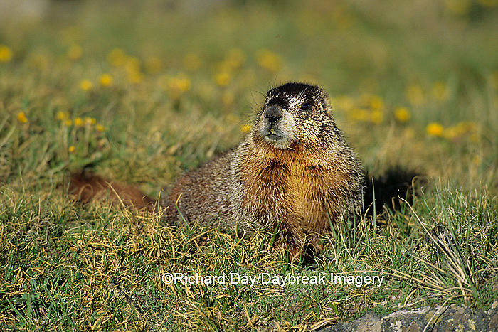 02004-00109 Yellow-bellied marmot (Marmota flaviventris) Rocky Mtn Nat'l Pk   CO