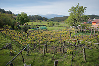 View over vineyard in spring in the village of Chandebrito, Vigo, Galicia, Spain. .....Copyright..John Eveson,.Dinkling Green Farm,.Whitewell,.Clitheroe,.Lancashire..BB7 3BN.Tel. 01995 61280.Mobile 07973 482705.j.r.eveson@btinternet.com.www.johneveson.com