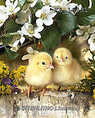 Interlitho, EASTER, OSTERN, PASCUA, photos+++++,chicks,white flowers,KL16431,#e# easter chicks