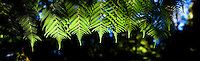 Panoramic Photo of a Fern in the Abel Tasman National Park, South Island, New Zealand. This photo of ferns was taken on the walk around Te Waikoropupu Springs, the clearest springs in the world.