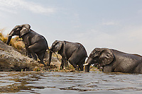 Herd of elephants getting on land after crossing the Chobe river