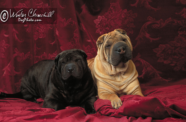 Shar-Pei<br /> <br /> <br /> <br /> Shopping cart has 3 Tabs:<br /> <br /> 1) Rights-Managed downloads for Commercial Use<br /> <br /> 2) Print sizes from wallet to 20x30<br /> <br /> 3) Merchandise items like T-shirts and refrigerator magnets