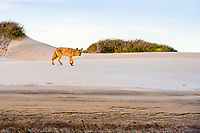 coyote, Canis latrans, foraging in sand dune, Baja California, Mexico, Gulf of California, aka Sea of Cortez, Pacific Ocean