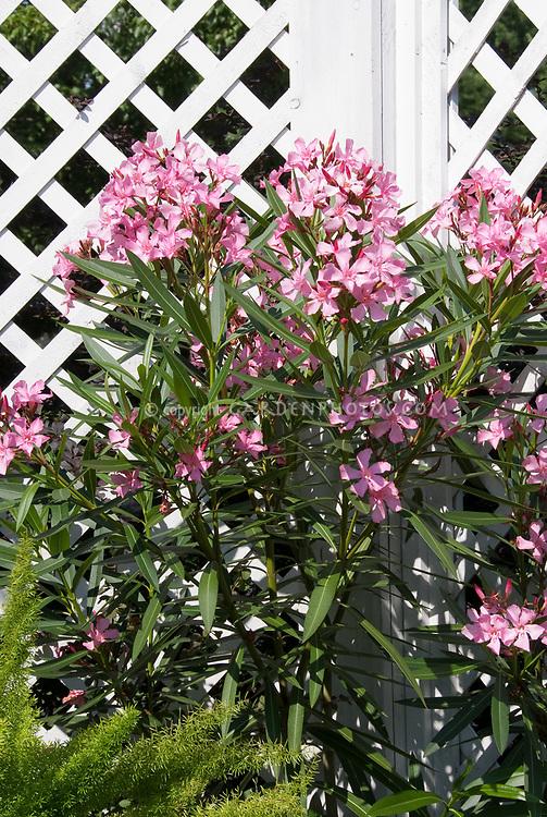 nerium shrub plant flower stock photography gardenphotos com