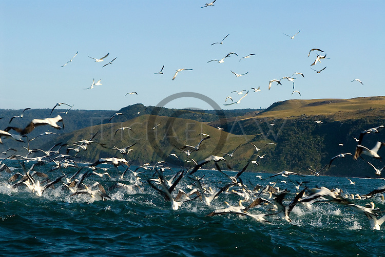 Gannets looking for sardines , South Africa, Wild Coast, Sardine Run, dolphins, Sharks, sardine, gannets
