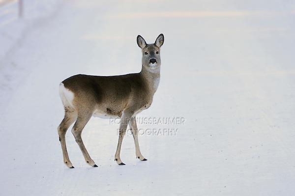 Roe Deer (Capreolus capreolus), adult in snow, St. Moritz, Switzerland, December 2007