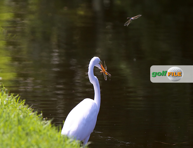 15 OCT 01  Dragon Fly bomber attacking hungry egret who has his friend ...at The TPC Sawgrass Valley Course in Ponte Vedra Beach, Florida.(photo credit : kenneth e. dennis/kendennisphoto.com)