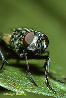1H10-018z   House Fly -  compound eyes on adult - Musca domestica