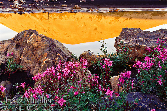 Fireweed and the Ogilvie Mountains reflected in the midngith sun, Central Yukon