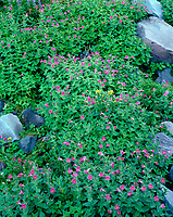 ORCAN_015 - USA, Oregon, Mount Hood National Forest, Mount Hood Wilderness, Purple blossoms of Lewis monkeyflower and scattered rocks in subalpine meadow.