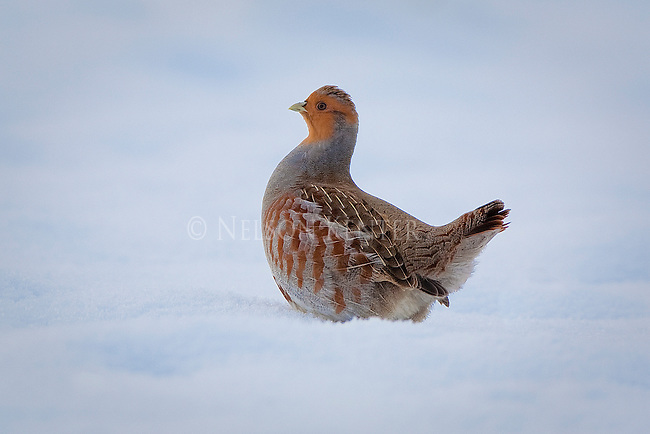 "Hungarian Partridge or ""Hun"" in the snow  on a winter day in Montana"