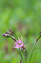 Ragged-robin (Lychnis flos-cuculi), mid April.