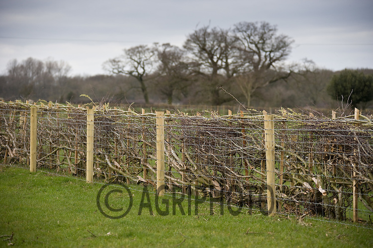 New laid hedge showing sheep fencing both sides.©Tim Scrivener/agriphoto.com 07850 303986.
