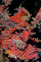 Demon stinger / Spiny devilfish (inimicus didactylus) walking along the volcanic sand bottom, Hairball too, Lembeh strait, Celebes sea, Pacific Ocean, Sulawesi, Indonesia, Asia