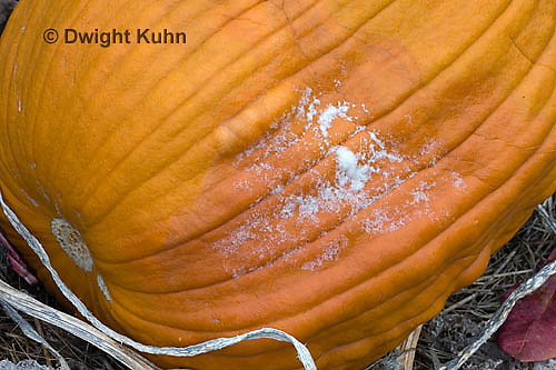 DC09-616z  Pythium Fruit Rot on pumpkin caused by the fungus Pythium sp..