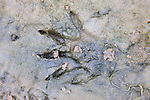 Animal Footprint - Possibly Raccoon