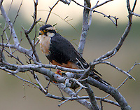 Aplomado falcon adult