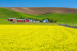 Whitman County, WA      <br /> Field of bright yellow mustard blooming with farmhouse and farmstead tucked under rolling hills in the Palouse near Dusty, WA
