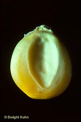 SE10-002b  Corn - seed